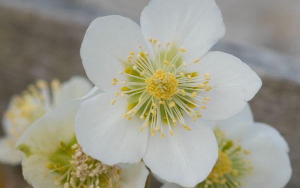 Helleborus niger  - Christrose, Schneerose