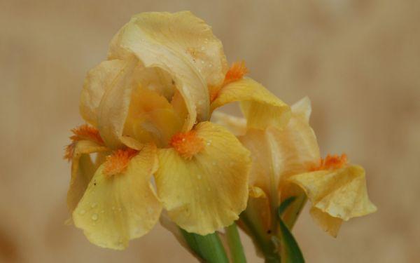 Iris barbata-nana Orange Tiger - Zwerg-Bart-Iris