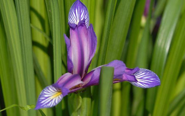 Iris graminea - Pflaumen-Schwertlilie, Gras-Schwertlilie