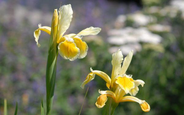 Iris orientalis - Orientalische Schwertlilie