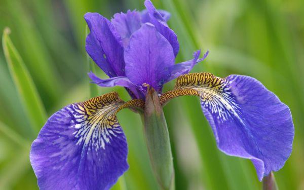 Iris Tetrasibtosa-Hybride Three Quarters - Wiesen-Schwertlilie