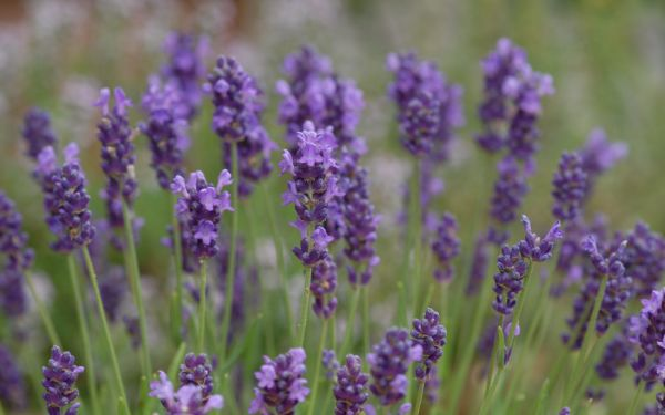 lavandula angustifolia 39 peter pan 39 zwerg lavendel allg ustauden bio logisch. Black Bedroom Furniture Sets. Home Design Ideas