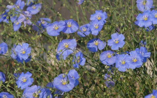 Linum perenne Nanum Blau Saphir - Stauden-Lein