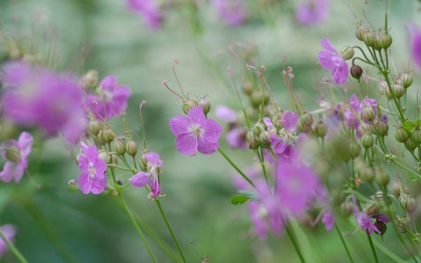 Geranium macrorrhizum Baby Pink - Balkan-Storchschnabel