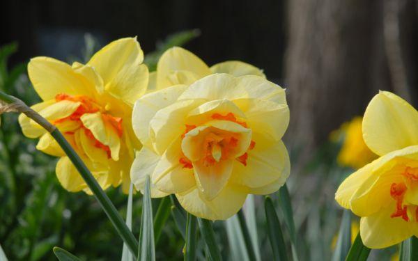 Narcissus Tahiti - Gefüllte Narzisse