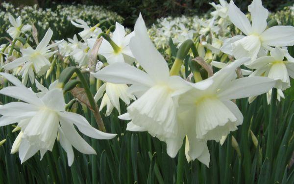 Narcissus Thalia - Engelstränen-Narzisse