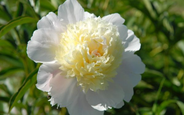 Paeonia lactiflora Primevere - Edel-Pfingstrose