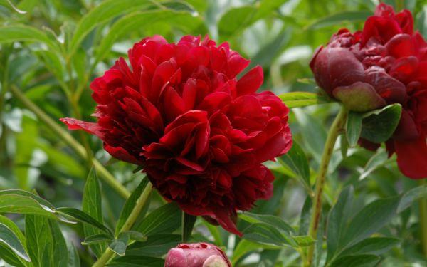 Paeonia Hybride Red Grace - Pfingstrose