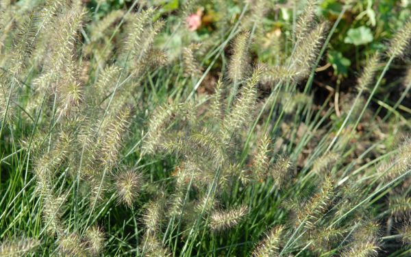 Pennisetum alopecuroides Little Bunny - Zwerg-Lampenputzergras