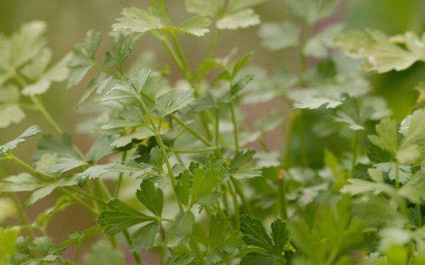Petroselinum crispum Einfache Schnitt 3 - Glatte Petersilie