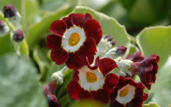 Primula Auricula-Hybride Dales Red - Garten-, Schau-Aurikel