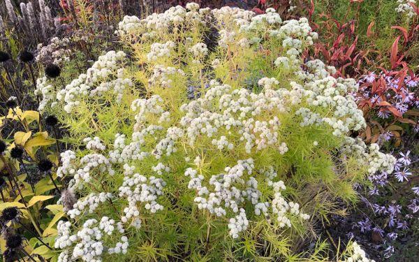 Pycnanthemum tenuifolium - Schmalblättrige Bergminze, Amerikanische Bergminze