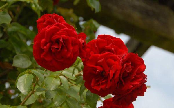Rosa Amadeus ® - Kletter-Rose