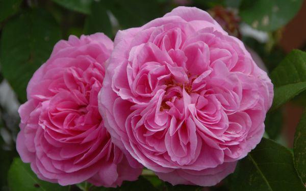 Rosa Gertrude Jekyll ® - Strauch-Rose, Englische Rose