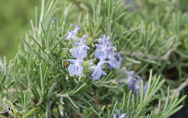 Rosmarinus officinalis Prostratus - Kriechender Rosmarin