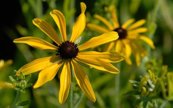 Rudbeckia missouriensis - Missourie-Sonnenhut