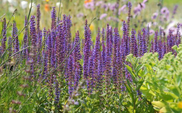 Salvia nemorosa Ostfriesland - Garten-Salbei, Steppen-Salbei
