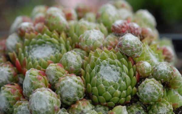 Sempervivum arachnoideum ssp. bryoides - Spinnweb-Hauswurz, Dachwurz