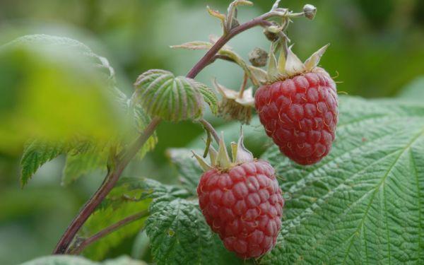 Sommer-Himbeere Rubaca ® - Rubus idaeus - Früchte an 2-jährigen Ruten
