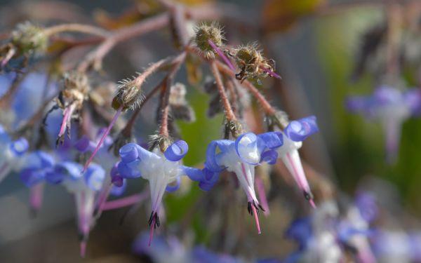 Trachystemon orientalis - Rauling