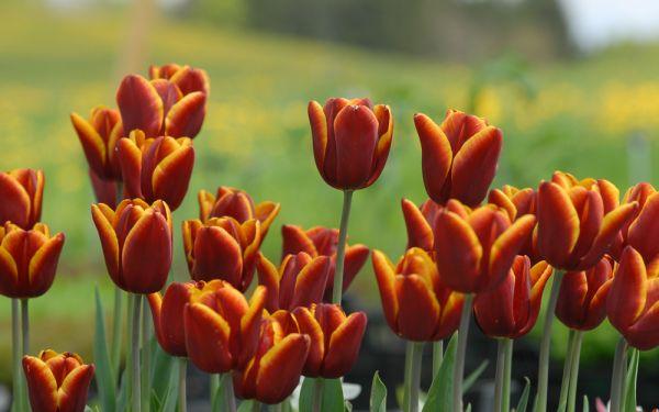 Tulipa Abu Hassan - Triumph-Tulpe