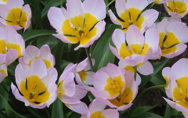 Tulipa bakerii Lilac Wonder - Wildtulpe