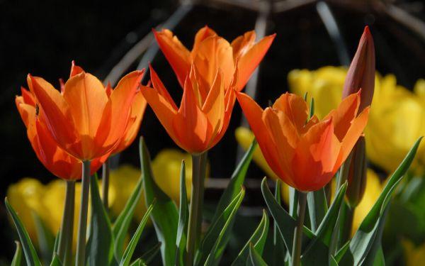Tulipa Ballerina - Lilienblütige Tulpe