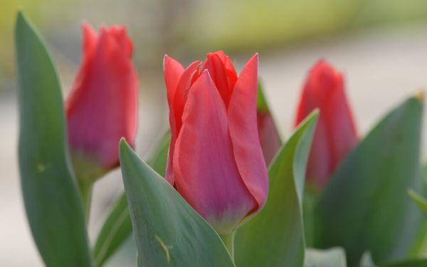Tulipa greigii Portland - Greigii-Tulpe