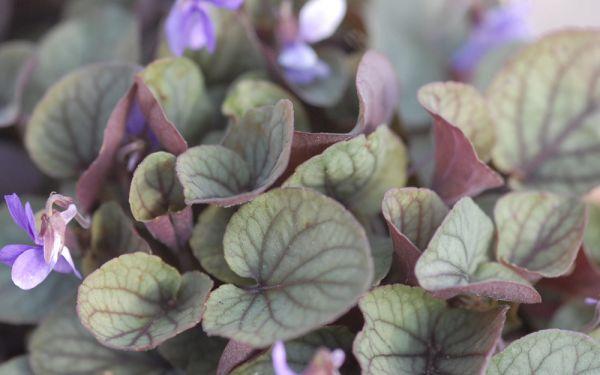 Viola walteri Silver Gem - Blattschmuck-Veilchen
