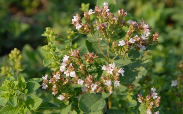 Origanum heracleoticum - Griechischer Oregano