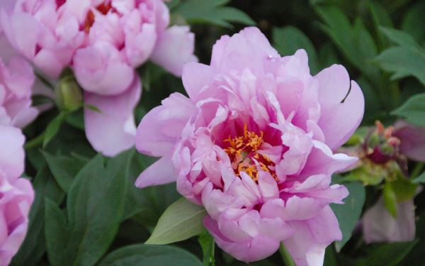Paeonia Hybride First Arrival - Pfingstrose (intersektionelle Hybride)