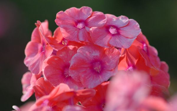Phlox paniculata Freudenfeuer - Flammenblume, Hoher Sommer-Phlox