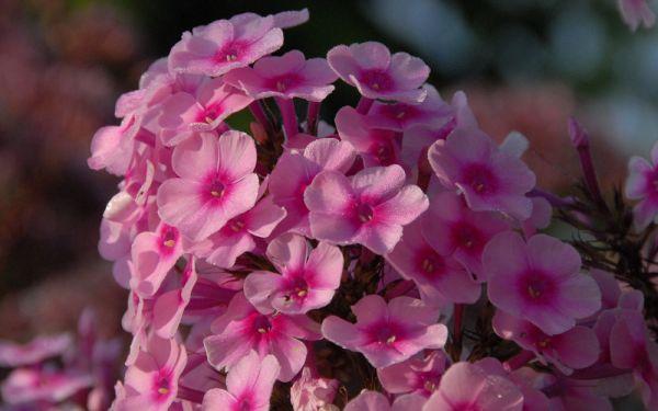 Phlox paniculata Miss Pepper - Flammenblume, Hoher Sommer-Phlox