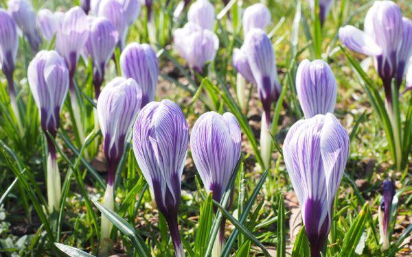 Crocus vernus Pickwick - Großblütiger Gartenkrokus