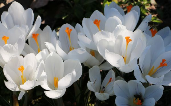 Crocus vernus Jeanne dArc - Großblütiger Gartenkrokus