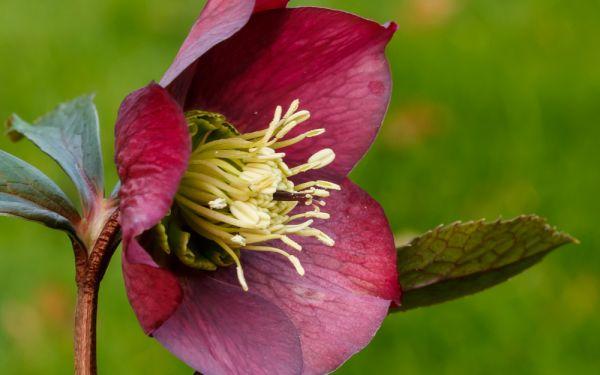 Helleborus Orientalis-Hybride Rote Hybriden - Lenzrose