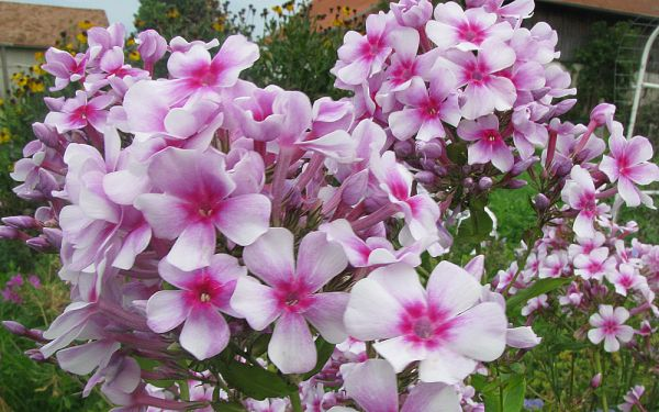 Phlox paniculata Wildfang - Flammenblume, Hoher Sommer-Phlox