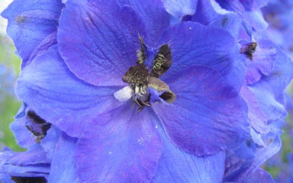 Delphinium Elatum-Hybride Finsteraarhorn - Hoher Rittersporn