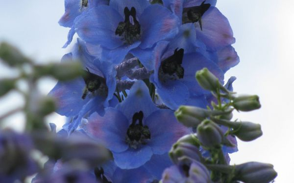 Delphinium Elatum-Hybride Ouvertüre - Hoher Rittersporn