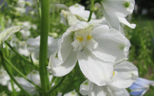 Delphinium Belladonna-Hybride Moerheimii - Halbhoher Rittersporn