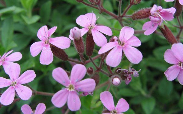 Saponaria ocymoides  - Polster-Seifenkraut