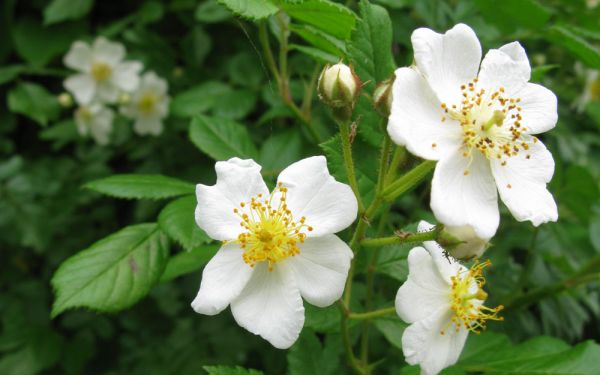 Rosa multiflora - Büschel-Rose, Rispen-Rose, Wild-Rose