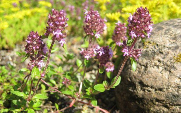 Thymus pulegioides - Echter Quendel, Arznei-Thymian