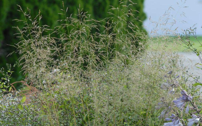 deschampsia cespitosa 39 tardiflora 39 wald schmiele. Black Bedroom Furniture Sets. Home Design Ideas