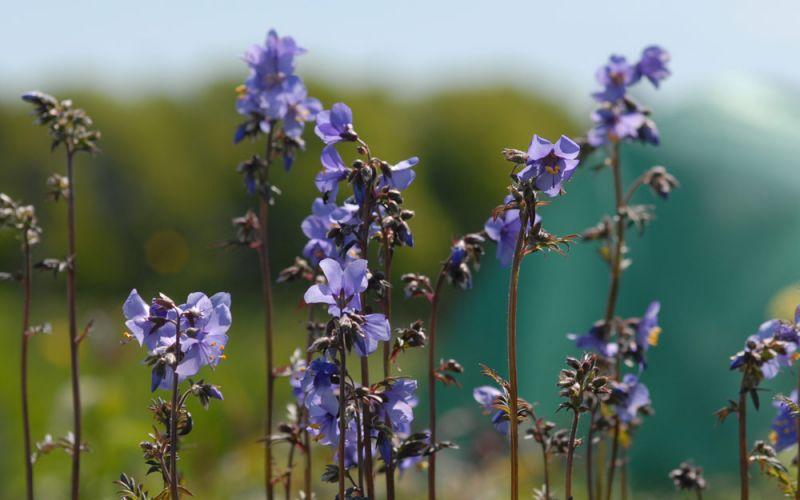 polemonium yezoense 39 purple rain strain 39 purpurl ttrige. Black Bedroom Furniture Sets. Home Design Ideas