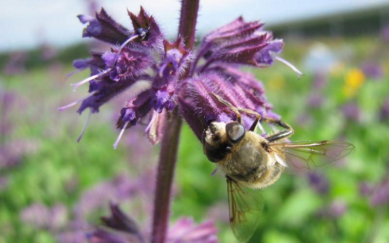 salvia verticillata 39 purple rain 39 quirlbl tiger salbei. Black Bedroom Furniture Sets. Home Design Ideas
