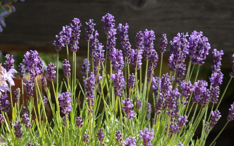 lavandula angustifolia 39 peter pan 39 zwerg lavendel allg ustauden bio logisch. Black Bedroom Furniture Sets. Home Design Ideas