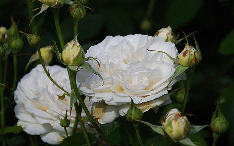 rosa 39 sebastian kneipp 39 edel rose allg ustauden bio. Black Bedroom Furniture Sets. Home Design Ideas