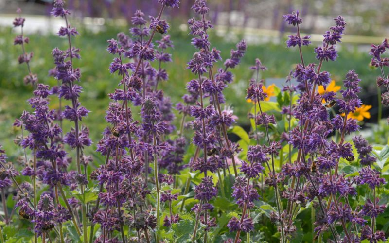 salvia verticillata 39 purple rain 39 quirlbl tiger salbei. Black Bedroom Furniture Sets. Home Design Ideas