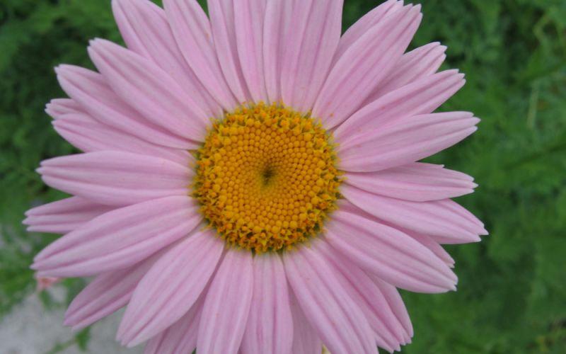 Etwas Neues genug Tanacetum coccineum 'Robinsons Rosa' - Margerite @ZG_95